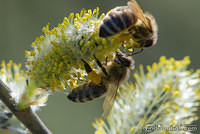 Bee under a willow catkin