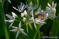 Bee on a wild garlic
