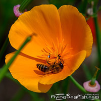 Bee inside a golden poppy