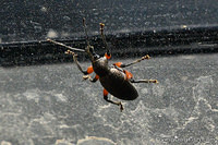 Black weevil on windshield