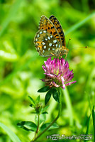 Dark green fritillary on red clover
