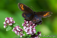 Tattered Scotch Argus