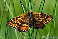 Marsh fritillary in grass