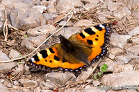 Small tortoiseshell on rocks