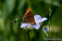 Marsh fritillary on a flower