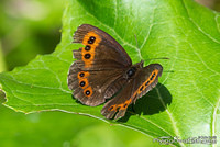 Damaged Scotch Argus