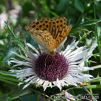 Silver washed fritillary on silver thistle