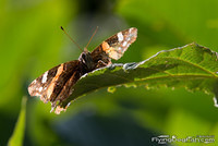 Red admiral peaks over a leaf