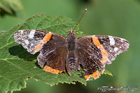 Red admiral on a leaf