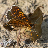False heath fritillary up close