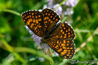 Heath fritillary spreads wings