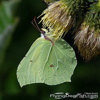 Common brimstone hanging
