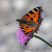 Small tortoiseshell on a pink flower