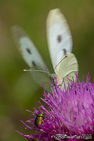 Large white flying off