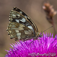 Marbled white sideview