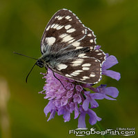 Marbled white on a purple flower