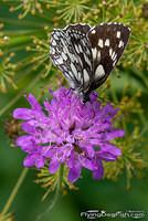 Marbled white and flower