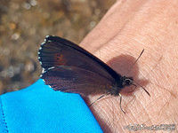 Scotch argus on a hand