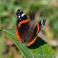 Red admiral sitting on a leaf