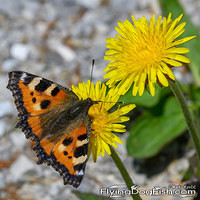 Small tortoiseshell on dandelions
