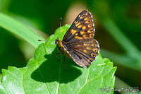 Duke of Burgundy on a leaf