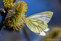 Green-veined white on a willow