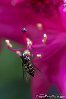 Fly on rododendron