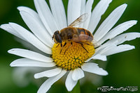 Drone fly sits on a daisy