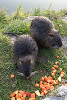 Hungry coypus