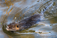 Coypu swimming in the river