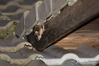 Edible Dormouse peeks out from under a roof tile