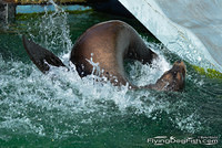 Sea lion splashing