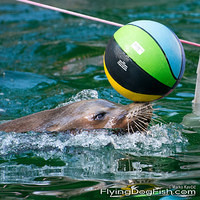 Sea lion with a ball in water