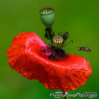 Red poppy approached by a bee