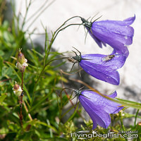 Scheuchzer's bellflower with fly