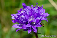 Clustered bellflower visited