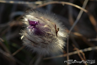 Greater pasque flower bud