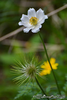 Alpine anemone with seed