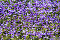 Crocus invasion