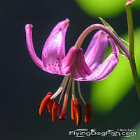 Turk's cap lily shines