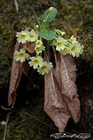 Primrose and old leaves