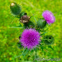 Bull thistle from above