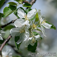 Overblown apple blossoms