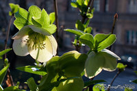 Hellebore in the sun