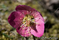 Dark pink Christmas rose