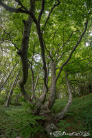 Curvy branched beech