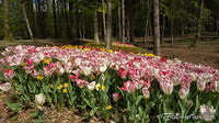 Tulips in the woods